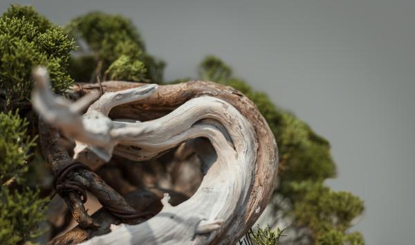 Dödved på bonsaiträd