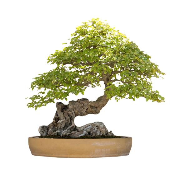 Bonsai av lövträd med intressant krokig stam, planterad på sten.