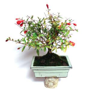 Punica granatum nana-bonsai