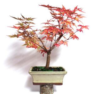 Acer palmatum deshoyo, bonsai i vit kruka