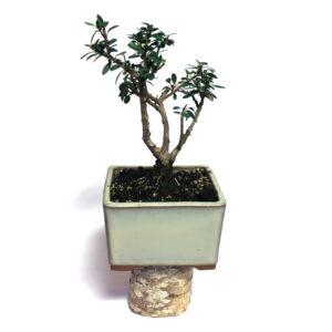 Ilex microphylla
