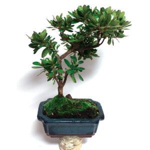 Rhododendron indicum i blå kruka