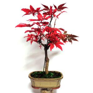 Acer palmatum atropurpureum bonsai i beige kruka