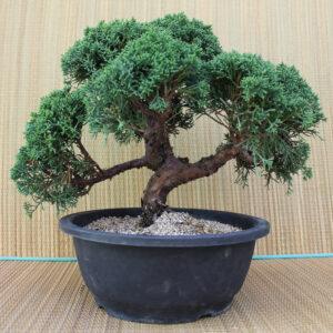 Kinesisk en-bonsai, 18 år, plastkruka
