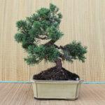 Kinesisk en/juniperus chinensis 17 år