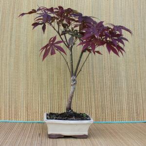 Japansk lönn-bonsai, 8 år, 41 cm hög