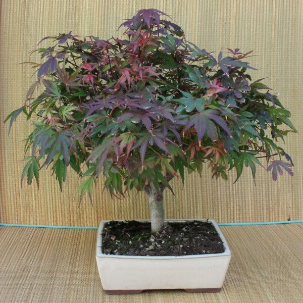 Rubust bonsai, Acer palmatum v. shaina