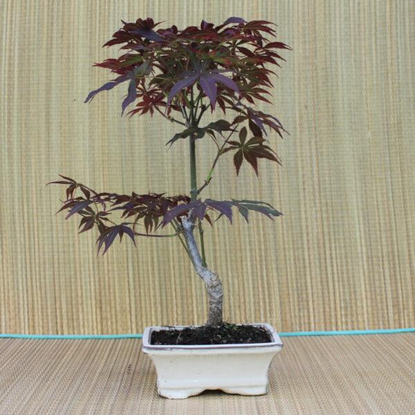 Acer palmatum atropurpureum bonsai, 8 år.