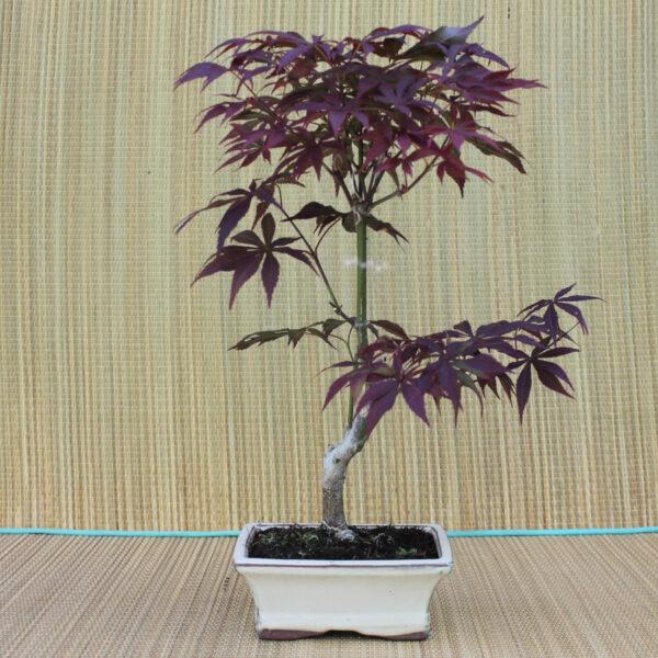 Acer palmatum atropurpureum prebonsai, 8 år.