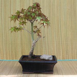 9-årig bonsai av arten Acer palmatum deshojo, i blå bonsaikruka.