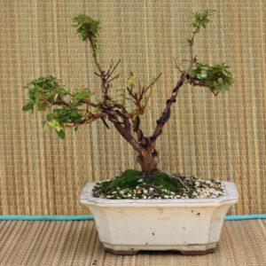Azalea Indicum, småbladig, 7 år