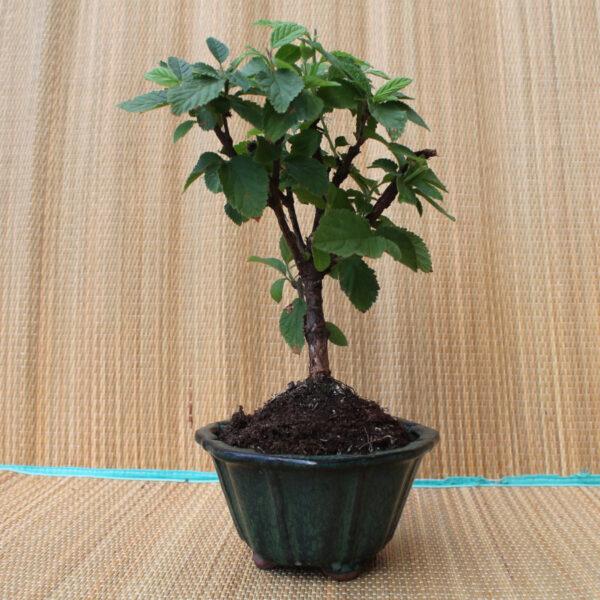 Buskig bonsai av luddkörsbär.