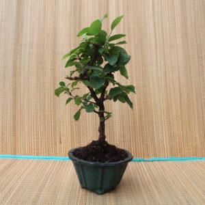 Spretig bonsai av luddkörsbär.