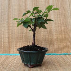 Prunus tomentosa bonsai