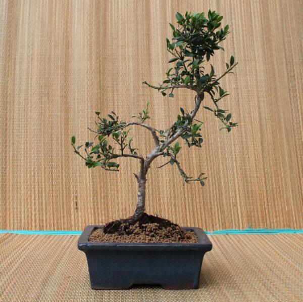 Japansk järnek-bonsai, Ilexx crenata