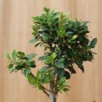 Japansk järnek-bonsai med knoppar