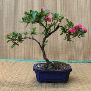 Rhodedendron indicum bonsai